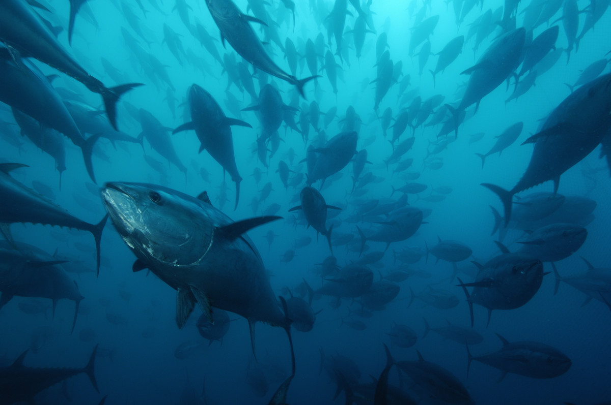 blue fin tuna © Brian J. Skerry_National Geographic Image Collection