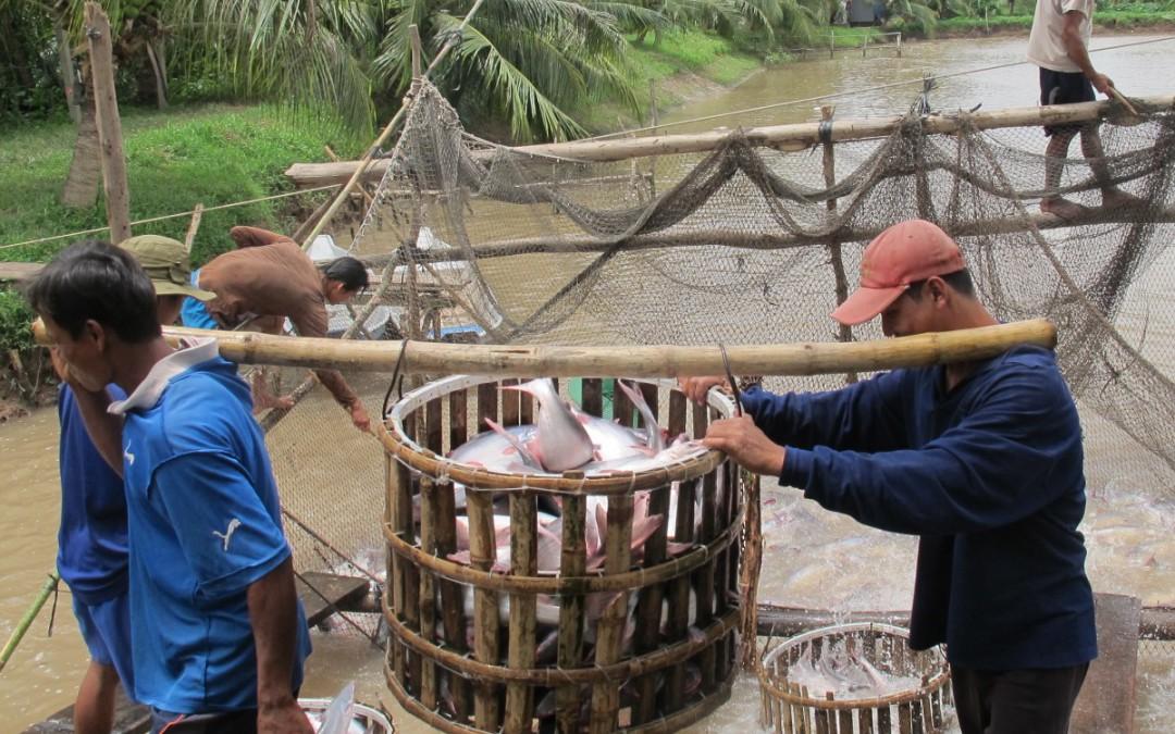 Pangasius sustentável do Vietname – um projeto exemplo da WWF