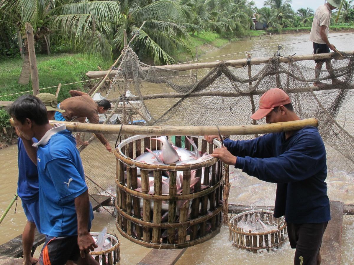 Harvesting pangasius in Vietnam. © Sabine Gisch-Boie / WWF