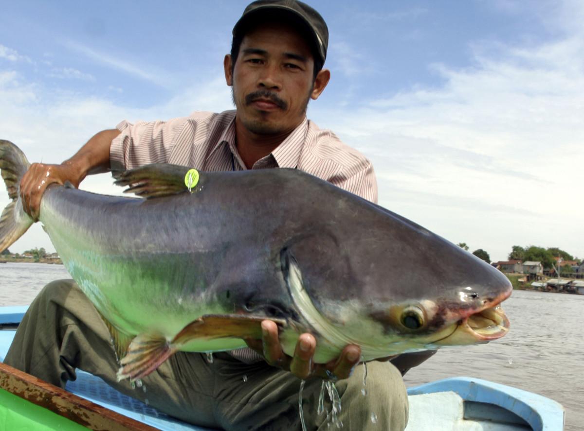 Pra or River catfish (Pangasianodon hypophthalmus); Tonle Sap River, Cambodia. © WWF-Canon / Zeb HOGAN