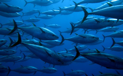 World Tuna Day: Protect fish stocks for economic and ocean health