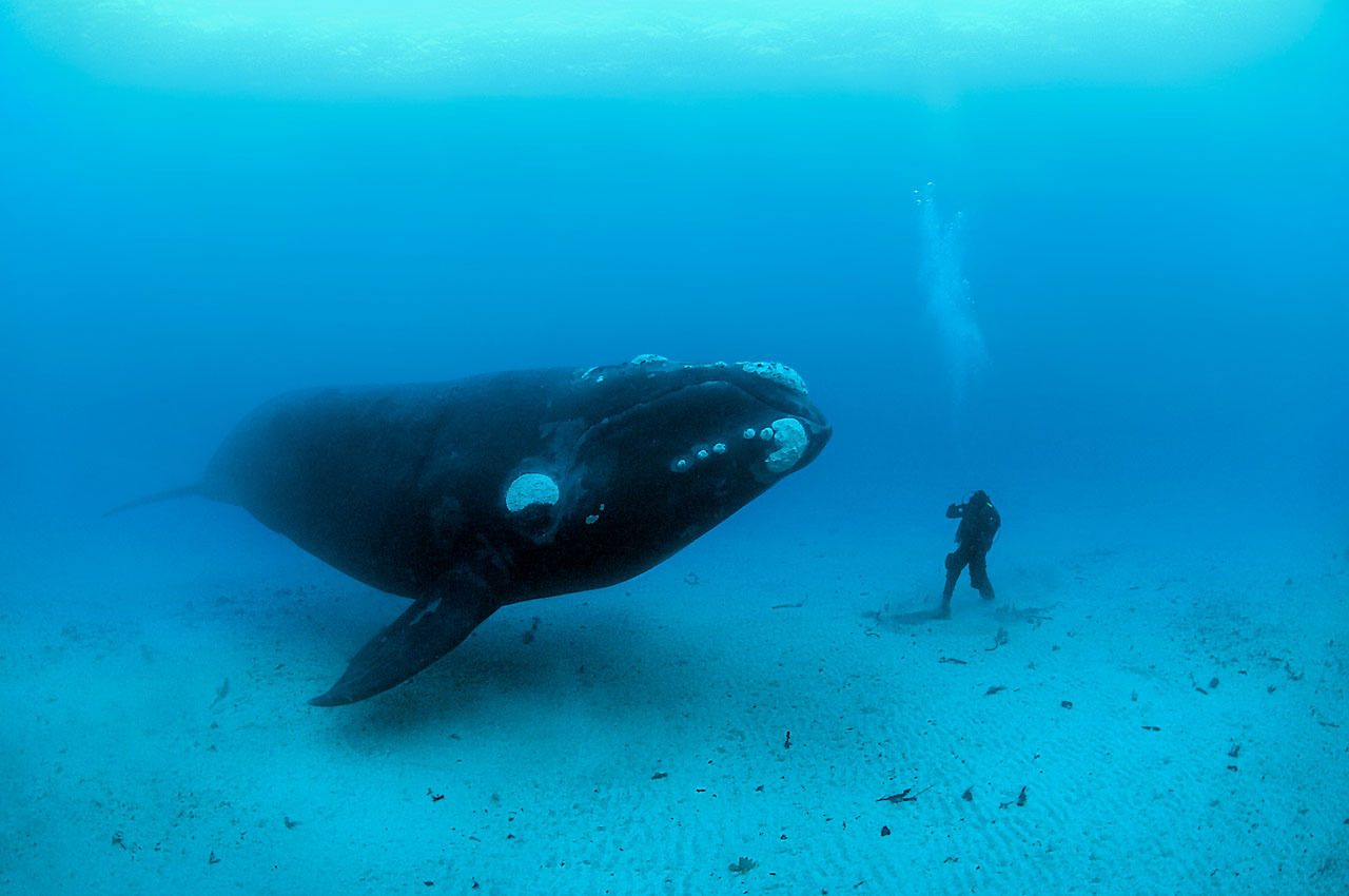 Southern right whale and diver, New Zealand. © Brian J. Skerry / National Geographic Stock / WWF