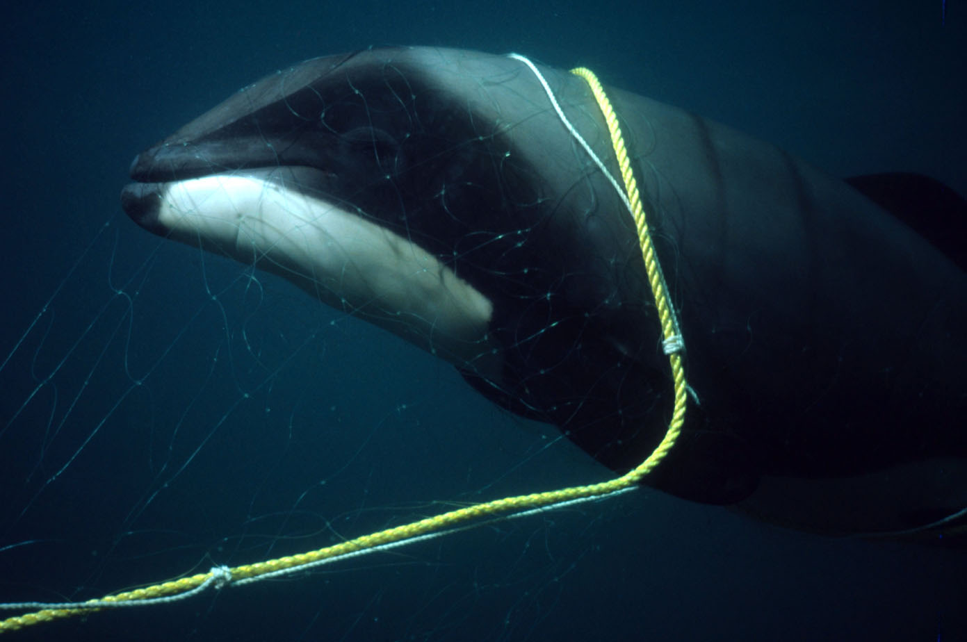 Hector's dolphin caught in fishing net, New Zealand. © Stephen Dawson / WWF