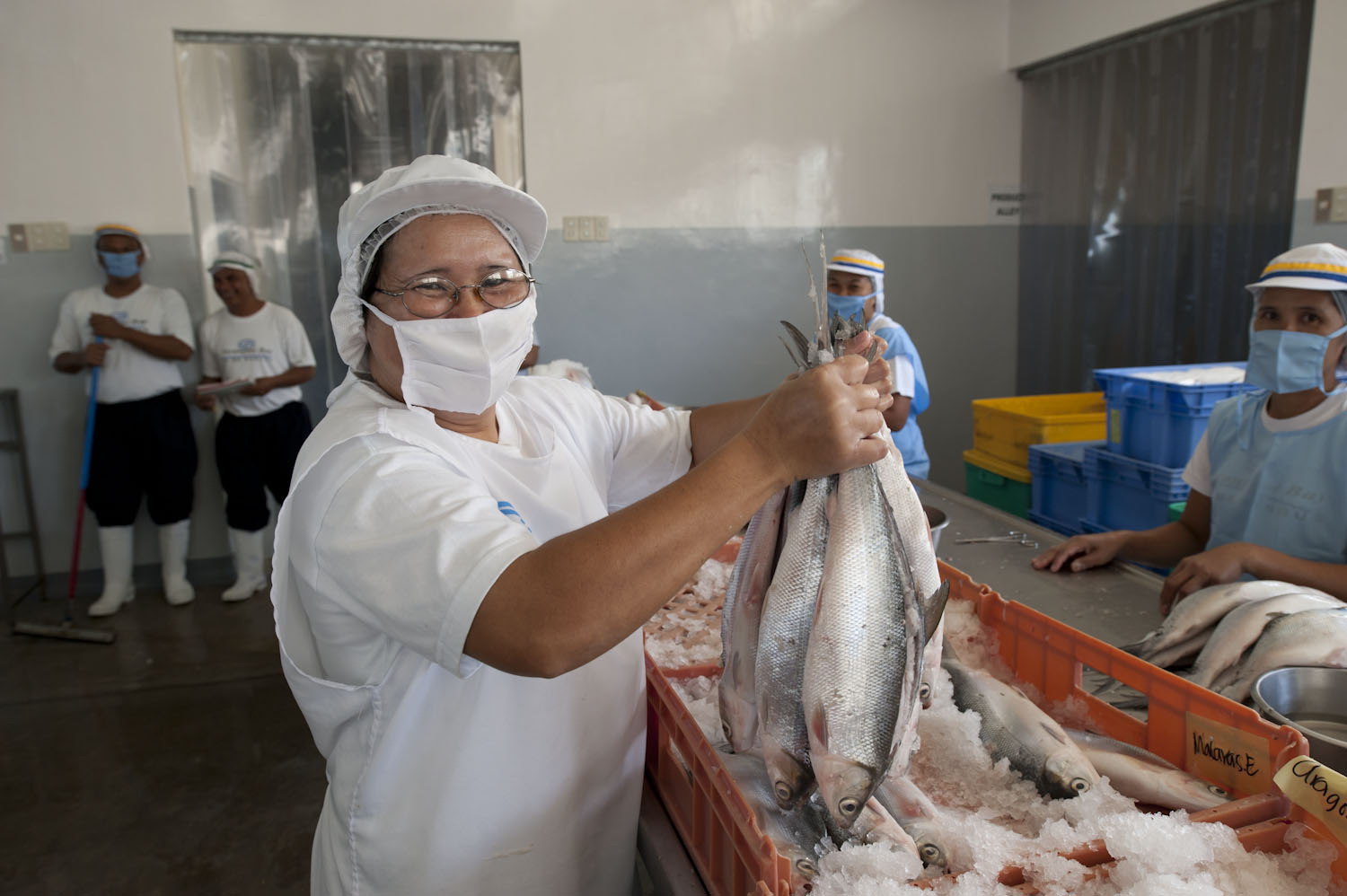 "Maintaining a ""cold chain"" through the use of ice, freshly caught fish remain fresh all the way from processing to vacuum packing to storage and shipping"