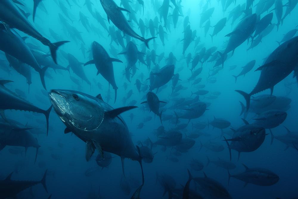Un estudio del CSIC eleva al 40 % el fraude en la comercialización de atún