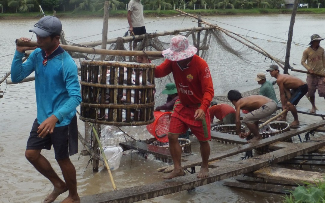 Pangasio: buono per l'ambiente se certificato