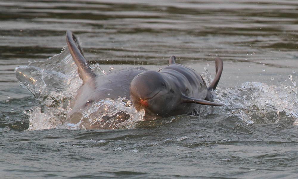 Новородено делфинче от рядък вид, заснето от WWF в река Меконг