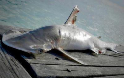 Нов вид акула бе открит в Белиз