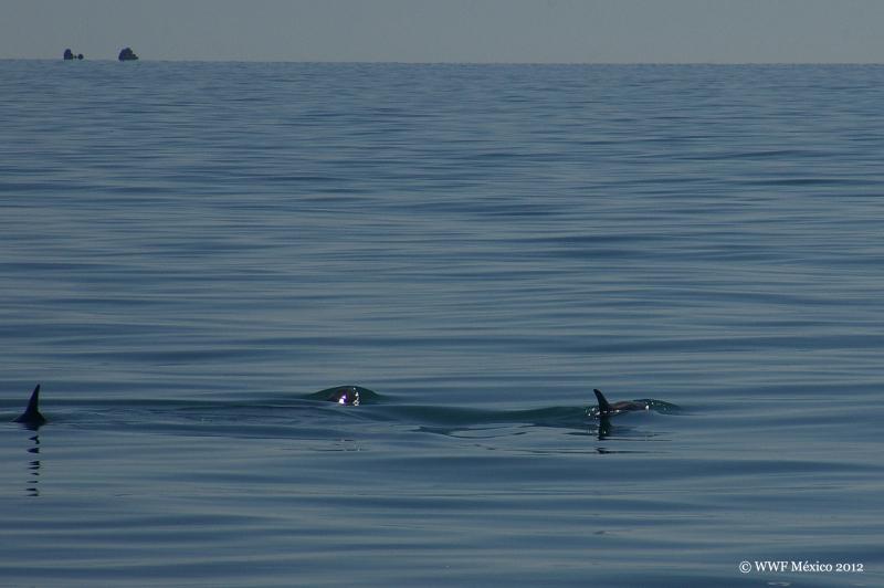 """Последен шанс за най-редките делфини, известни и като """"пандата на моретата"""""""