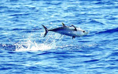 WWF: Erholung von Thunfisch-Beständen droht das Aus