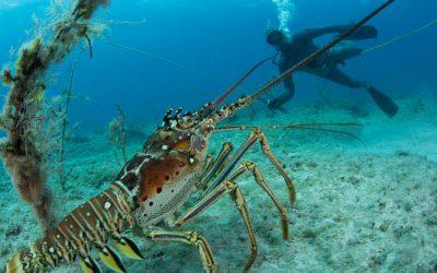 Омари в тюркоазени води: една успешна история от Бахамите